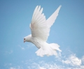 White dove flying in the clouds