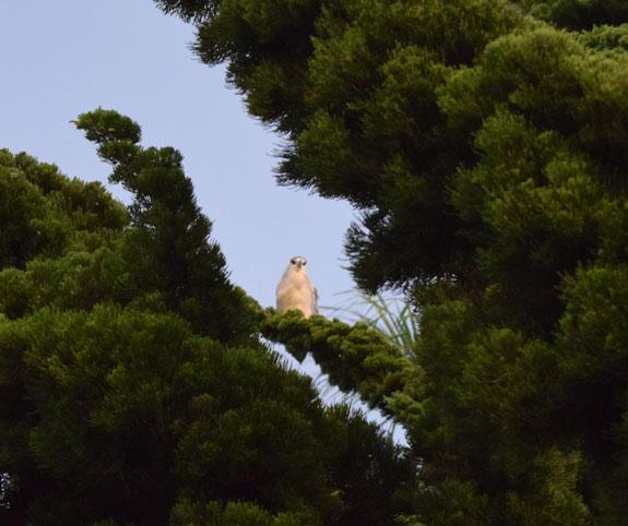 Black-Crowned Night Heron in a tree